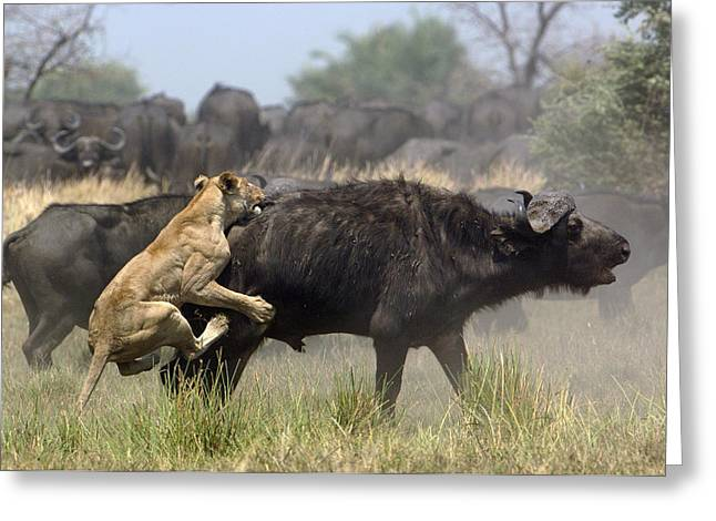Cow Images Photographs Greeting Cards - African Lion Attacking Cape Buffalo Greeting Card by Pete Oxford