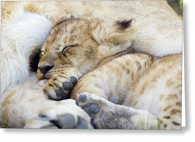 African Lion Cub Sleeping Greeting Card by Suzi Eszterhas