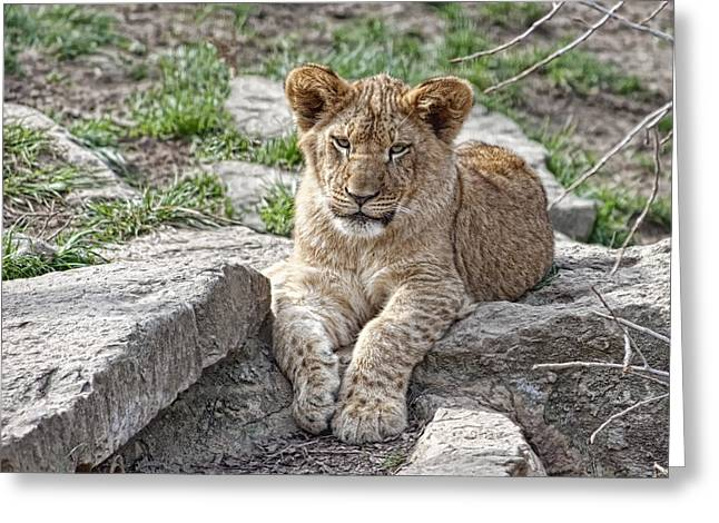 Male Lion Greeting Cards - African Lion Cub Greeting Card by Tom Mc Nemar