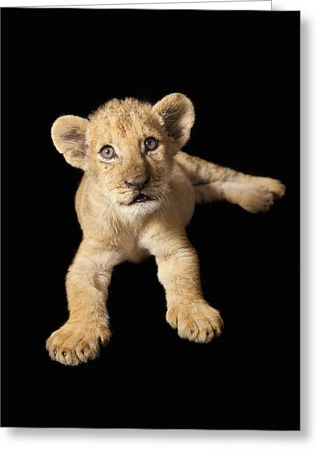 Zimbabwe Greeting Cards - African Lion Cub Zimbabwe Greeting Card by Michael Durham
