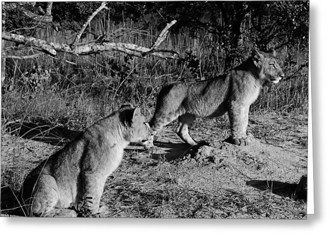 Zimbabwe Greeting Cards - African Lion Cubs Greeting Card by Mountain Dreams