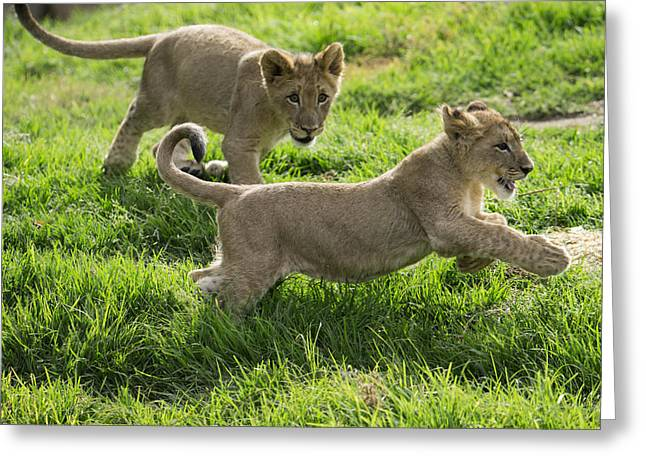 African Lion Cubs Playing Greeting Card by San Diego Zoo