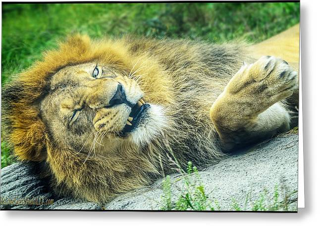 Growling Greeting Cards - African lion Flirtation Greeting Card by LeeAnn McLaneGoetz McLaneGoetzStudioLLCcom