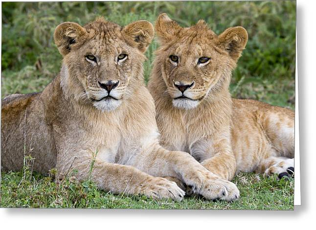 African Lion Juvenile Males Serengeti Greeting Card by Erik Joosten