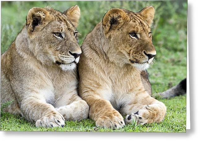 African Lion Juveniles Serengeti Np Greeting Card by Erik Joosten
