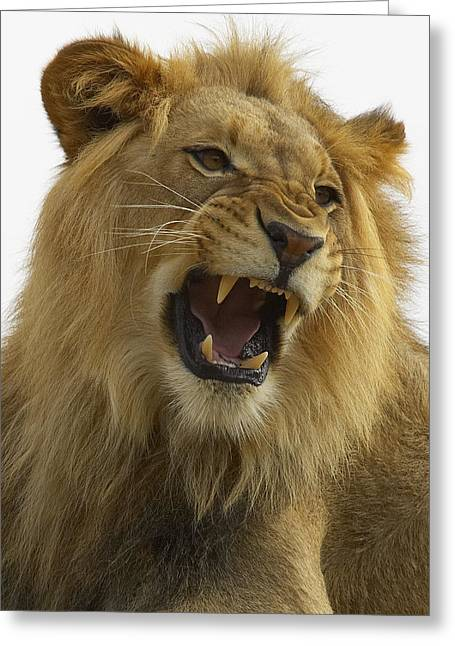 Growling Photographs Greeting Cards - African Lion Male Growling Greeting Card by San Diego Zoo