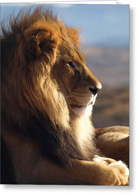 Peterson Nature Photography Greeting Cards - African Lion Greeting Card by James Peterson