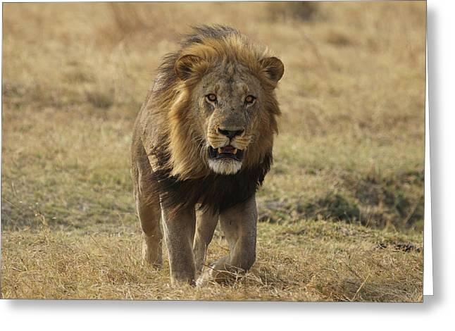 African Lion On Savanna Masai Mara Kenya Greeting Card by Hiroya Minakuchi