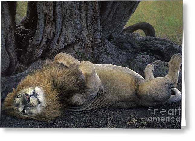 Dave Greeting Cards - African Lion Panthera Leo Wild Kenya Greeting Card by Dave Welling