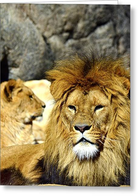 Lioness Greeting Cards - African lion relaxing  Greeting Card by Toppart Sweden