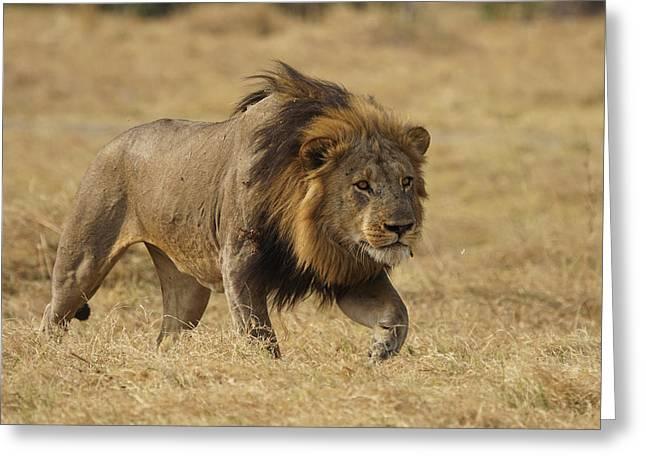 African Lion Stalking Masai Mara Kenya Greeting Card by Hiroya Minakuchi
