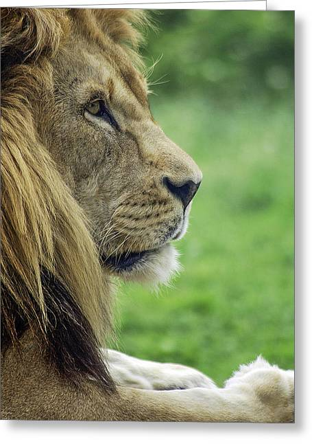 Pictures Of Cats Greeting Cards - African Lion-Three Greeting Card by David Allen Pierson