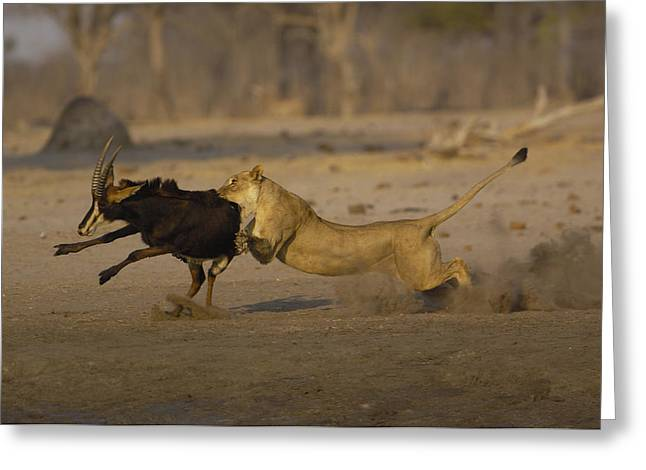 Lioness Greeting Cards - African Lioness Attacking Sable Greeting Card by Pete Oxford