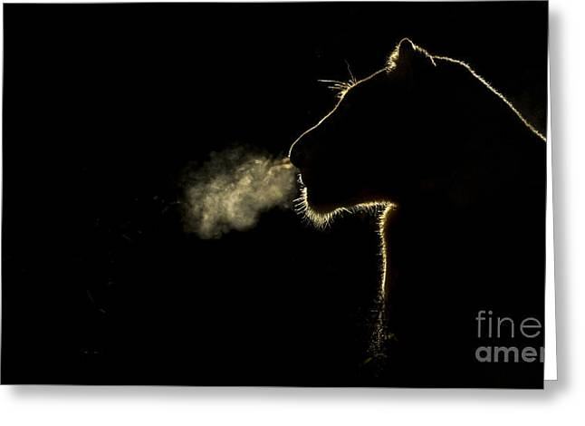 African Lioness Breath Sabi Sands South Greeting Card by Brendon Cremer