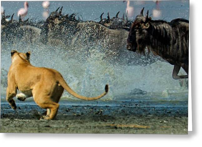 Hunting Bird Greeting Cards - African Lioness Panthera Leo Hunting Greeting Card by Panoramic Images
