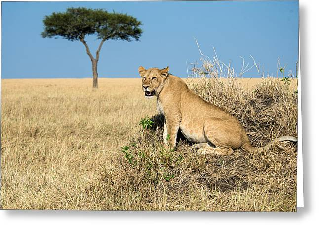 Lioness Greeting Cards - African Lioness Panthera Leo, Serengeti Greeting Card by Panoramic Images