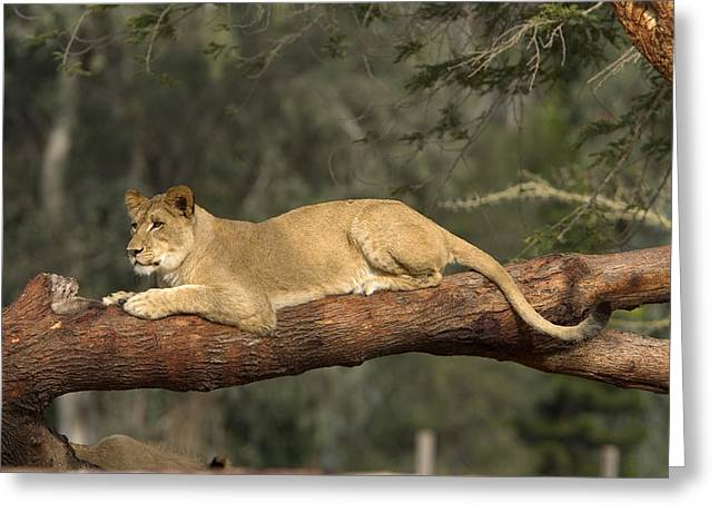 Lioness Greeting Cards - African Lioness Resting On Log Greeting Card by San Diego Zoo