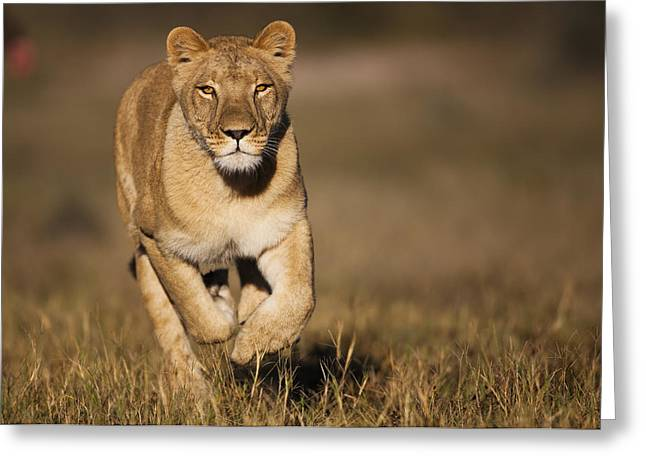 African Lioness Sirga Running Kalahari Greeting Card by Theo Allofs