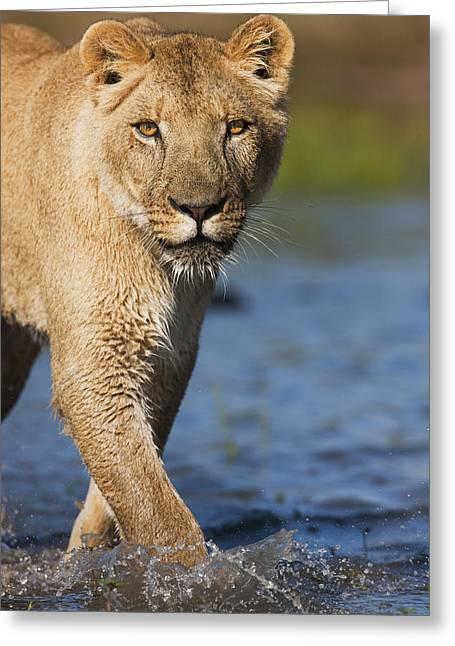 African Lioness Sirga Wading Kalahari Greeting Card by Theo Allofs