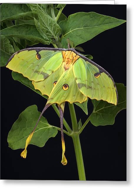 Robert Jensen Greeting Cards - African Moon Moth Argema mimosae Greeting Card by Robert Jensen