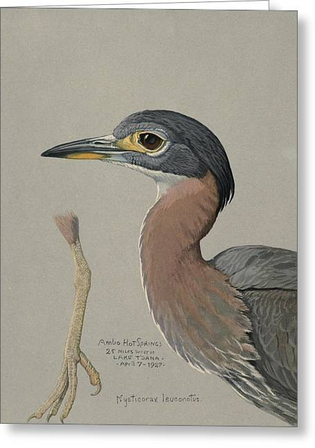 1874 Greeting Cards - African Night Heron  Greeting Card by Louis Agassiz Fuertes