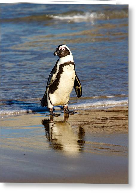 Simons Town Greeting Cards - African Penguin Greeting Card by Brian Knott - Forget Me Knott Photography