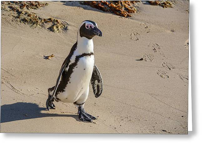 Simons Town Greeting Cards - African Penguin  Greeting Card by Catherine Withers-Clarke