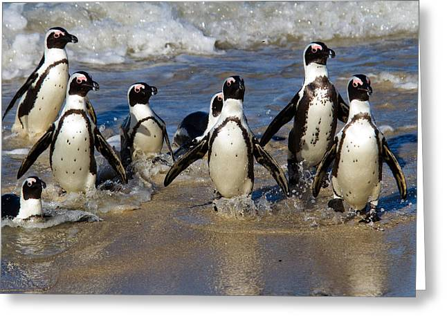 Simons Town Greeting Cards - African Penguins Greeting Card by Brian Knott - Forget Me Knott Photography