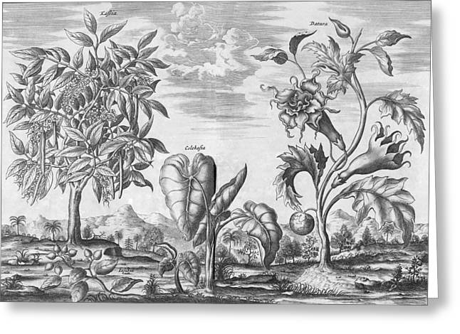 Elephant Ear Plant Greeting Cards - African plants, 17th century Greeting Card by Science Photo Library