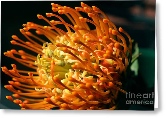 Orange Pin Cushion Greeting Cards - African Protea Greeting Card by Alyssa Rogers