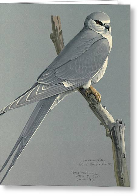 African Snow Tailed Kite Greeting Card by Louis Agassiz Fuertes