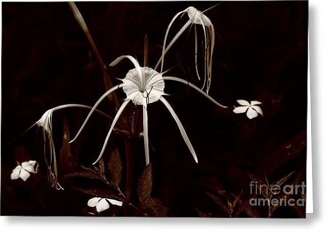 Spider Flower Greeting Cards - African Spider Lily Greeting Card by Aidan Moran