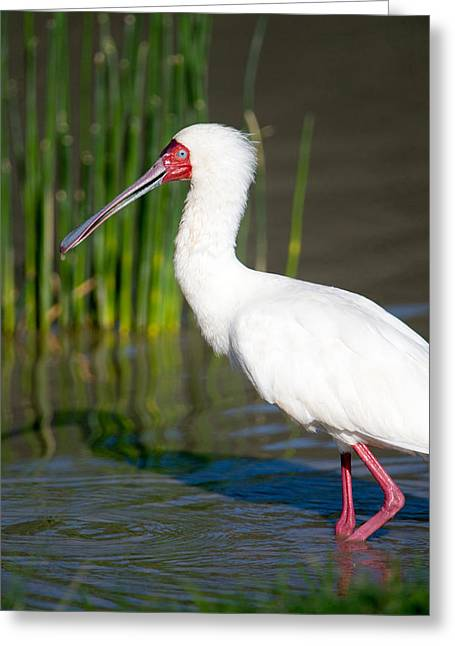 Ripples In The Water Greeting Cards - African Spoonbill Platalea Alba Greeting Card by Panoramic Images
