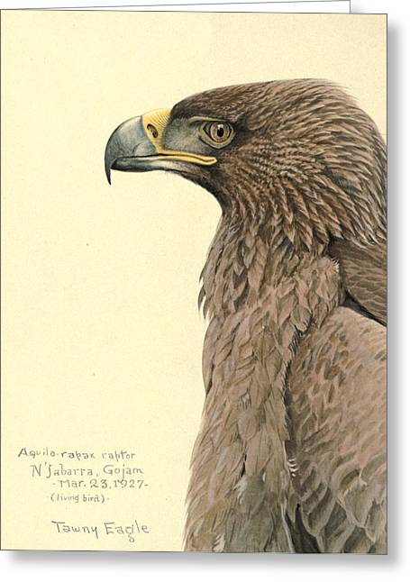 African Tawny Eagle Greeting Card by Louis Agassiz Fuertes