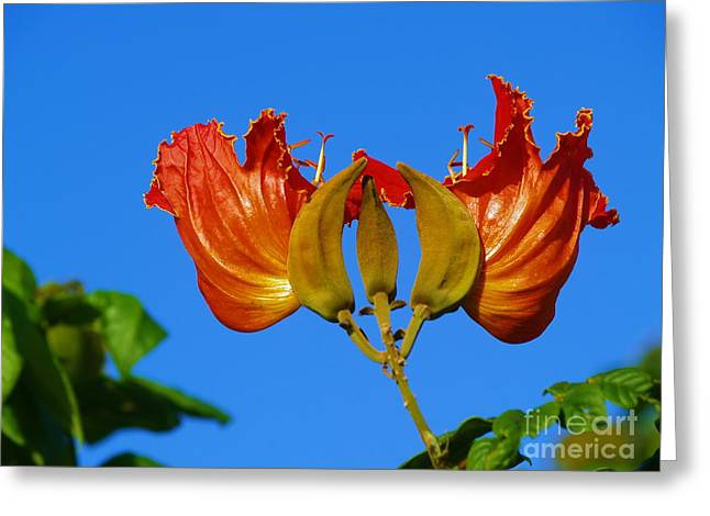 Flowers Against The Sky Greeting Cards - African Tulip Greeting Card by Samuel James