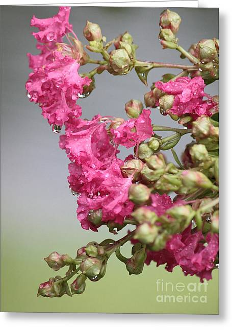 Crape Myrtle Greeting Cards - After the Rain Greeting Card by Carol Groenen
