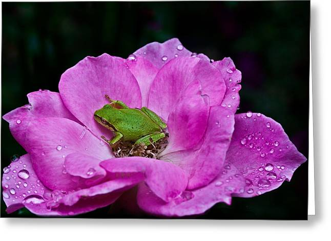 Pacific Tree Frog Greeting Cards - After The Rain Greeting Card by Marvin Mast