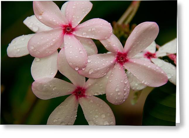 St Petersburg Florida Greeting Cards - After The Rain - Pink Plumeria Greeting Card by John Black