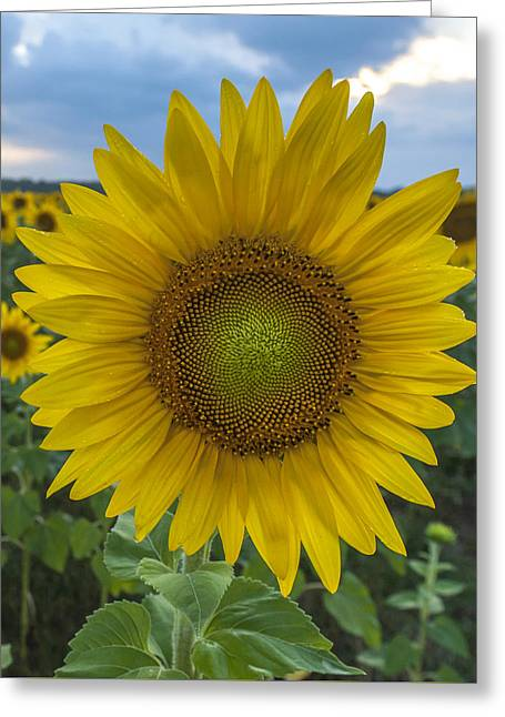 Plant The Seed Greeting Cards - After the Rain Sunflower Augusta NJ Greeting Card by Terry DeLuco