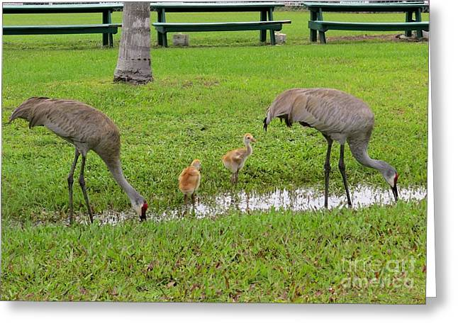 Sandhill Crane Greeting Cards - After the rain Greeting Card by Zina Stromberg