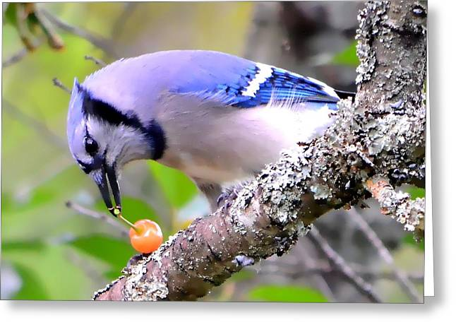 Jaybird Greeting Cards - Afternoon Snack Greeting Card by Deena Stoddard