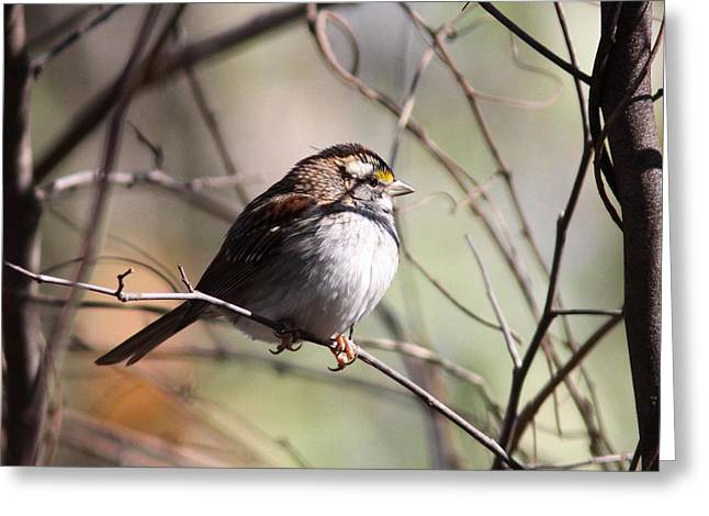 Travis Truelove Photography Greeting Cards - Afternoon Thoughts - Sparrow Greeting Card by Travis Truelove
