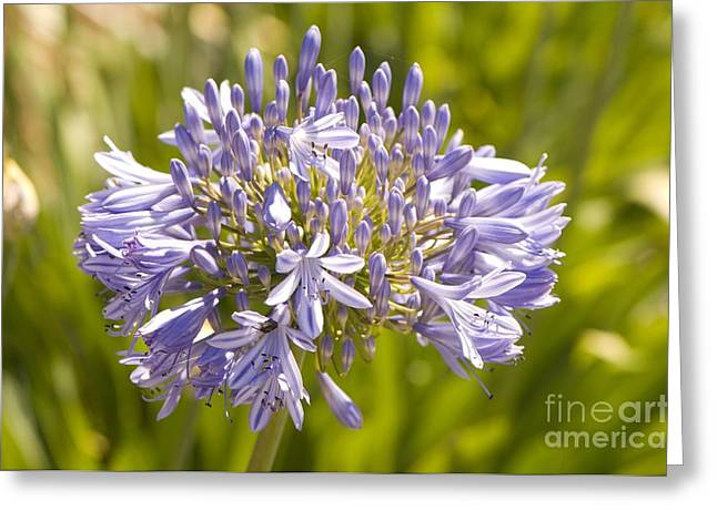 African Lily Greeting Cards - Agapanthus Africanus albus Greeting Card by Adrian Thomas