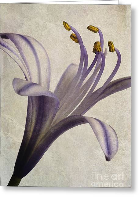 Close Focus Floral Greeting Cards - Agapanthus africanus Star Greeting Card by John Edwards