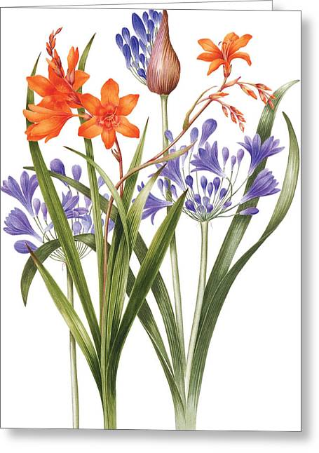 Agapanthus Greeting Cards - Agapanthus and Crocosmia Greeting Card by Sally Crosthwaite