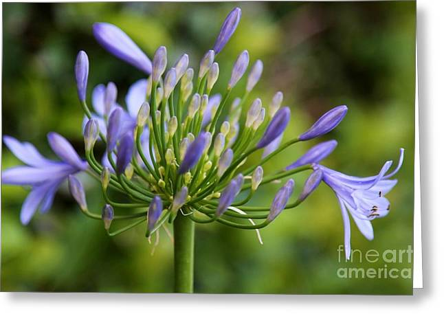 Agapanthus Greeting Cards - Agapanthus  Greeting Card by Carol Groenen