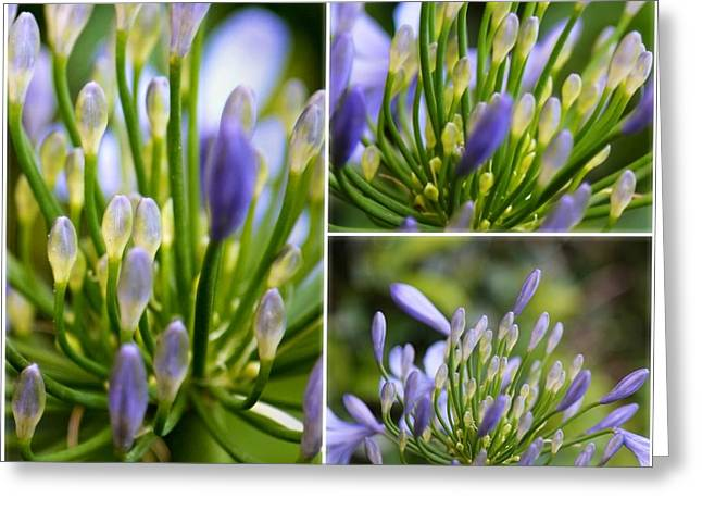 African Lily Greeting Cards - Agapanthus Collage Greeting Card by Carol Groenen