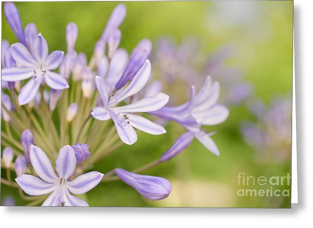 Agapanthus Greeting Cards - Agapanthus Greeting Card by Delphimages Photo Creations