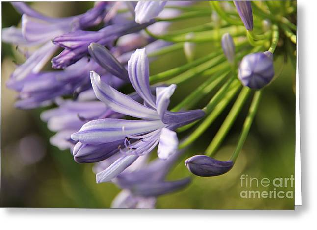 Enjoying Greeting Cards - Agapanthus flower close-up Greeting Card by Jackie Mestrom
