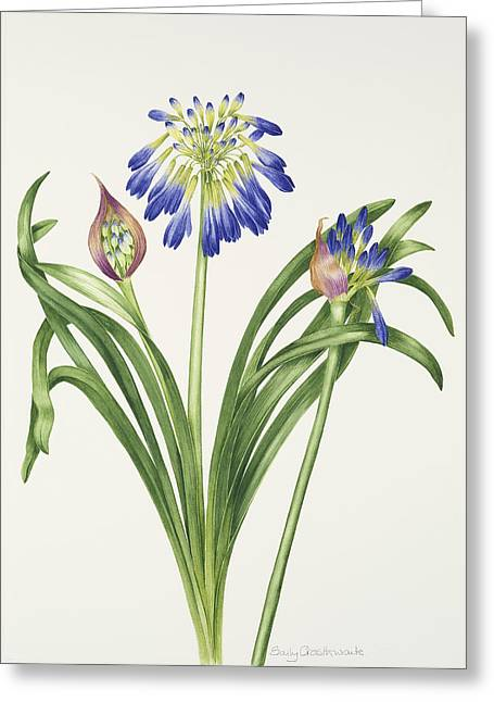 Agapanthus Greeting Cards - Agapanthus inapertus Greeting Card by Sally Crosthwaite